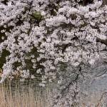 M池端に咲く桜_9596