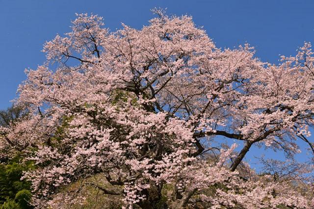 M是哉寺地蔵桜_0416