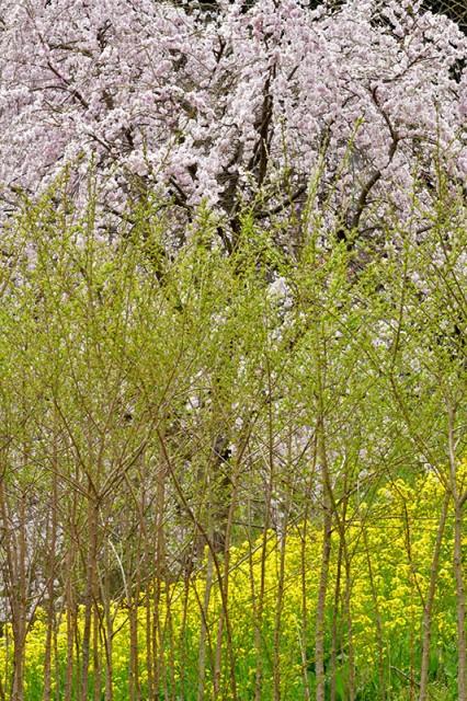 菜の花桜_5569