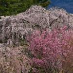 白津の桜_6513