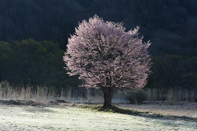 一本桜M _6744